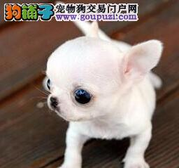 上海哪里出售吉娃娃 吉娃娃的价格是多少