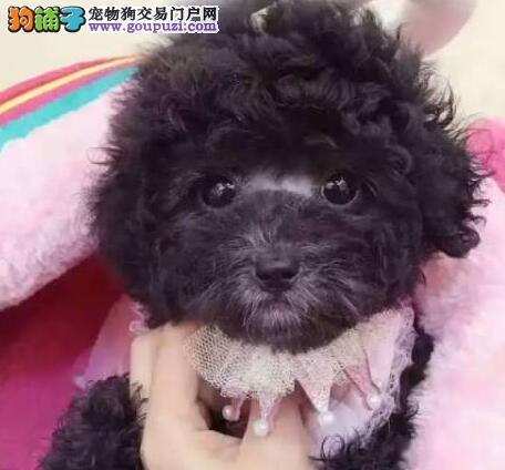 出售茶杯体小卷毛活泼可爱的赣州泰迪犬
