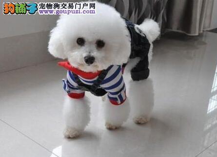 高品质韩系杭州贵宾犬特价出售 支持全国空运发货保纯