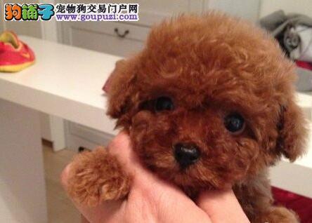 可爱纯种郑州泰迪犬出售中 纯正韩系血统国外引进