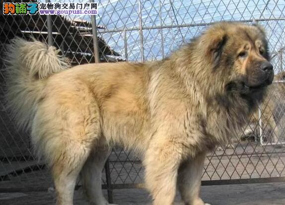 犬舍直销高加索犬带芯片广州市区可上门看狗