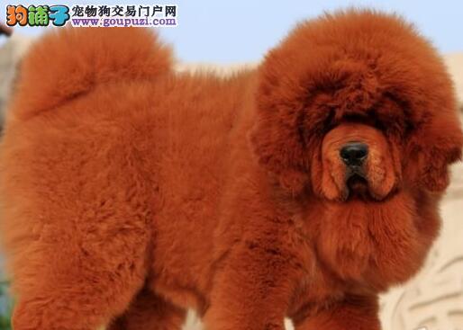 纯种原生态藏獒促销价格出售 欢迎来杭州犬舍挑选购买