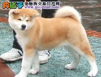 青岛自家繁殖的日系秋田犬特价优惠处理 保证品质售后