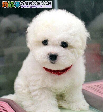 深圳出售纯种比熊幼犬 法国卷毛比熊犬 品种健康保证