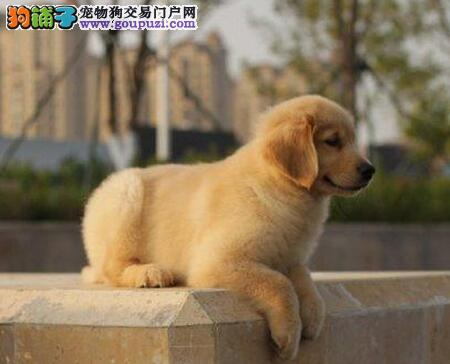 自家繁殖精品深圳金毛犬转让品质保证售后三包