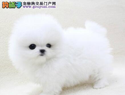 多种血系的贵阳博美犬找新主人 求爱心人士收留犬