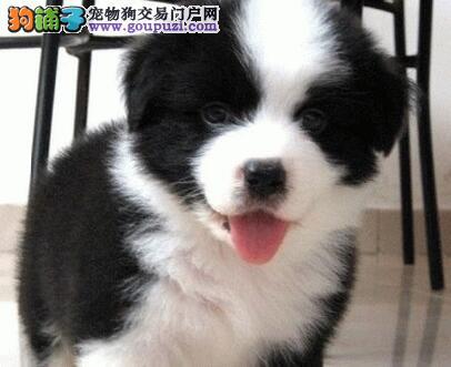 出售极品纯种白金汉宫血系边境牧羊犬 成都周边可送狗