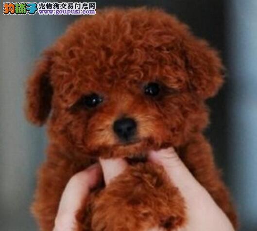 成都专业养殖基地出售韩系血统泰迪犬 身体健康有保证