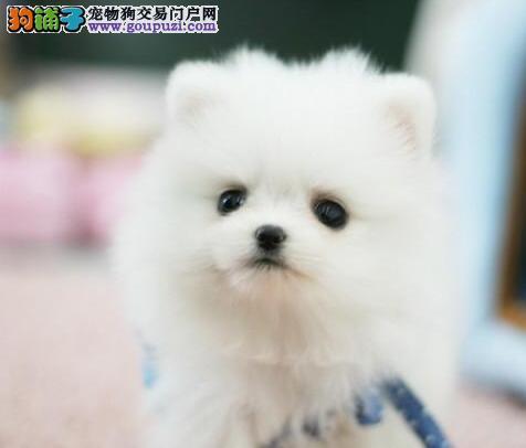 重庆出售纯种哈多里版博美品相极佳包健康欢迎上门挑选