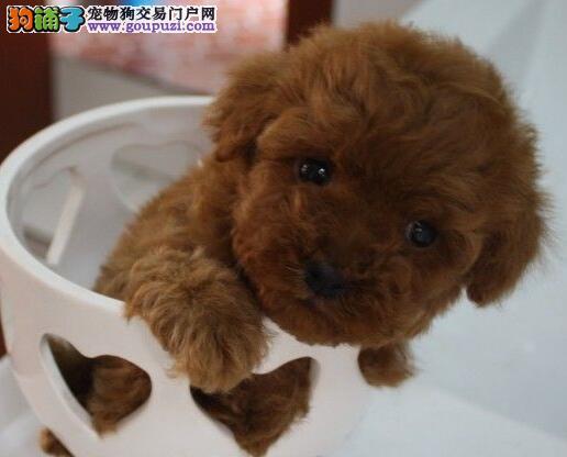 吉林犬舍出售聪明可爱的泰迪犬 颜色齐全保纯种健康