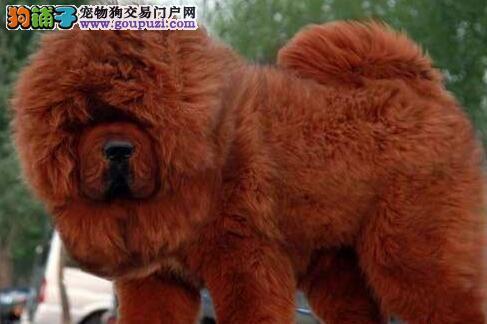 出售大狮子头铁头包金血系的南昌藏獒幼崽 速来选购