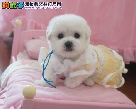 优秀品质卷毛北京比熊犬直销价格出售 已做好驱虫疫苗