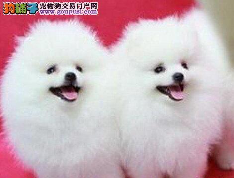 狗场直销郑州健康活泼可爱哈多利球体博美 品质有保证