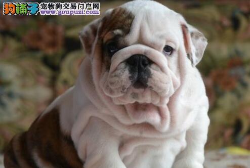 纯种美系小体英国斗牛犬出售虎头颜色好品质佳