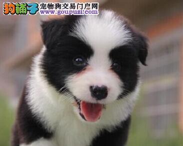 岳阳犬舍直销纯种边境牧羊犬七白通脖品相极佳