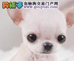 精品岳阳吉娃娃促销超小型聪明乖巧购犬送全套用品