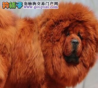 大型獒园出售岳阳藏獒大狮头铁包金保证健康
