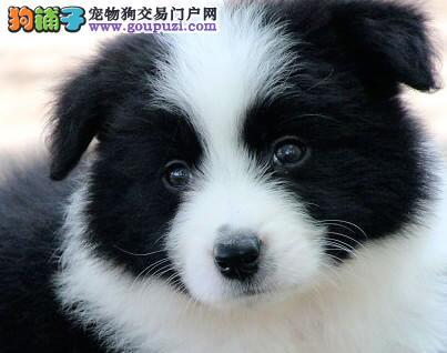 出售极品边境牧羊犬幼犬完美品相血统证书芯片齐全