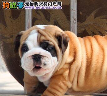广州专业狗场直销斗牛犬品种齐全品质保证