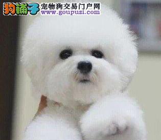 深圳正规养殖场出售健康比熊犬 三个月大血统纯正