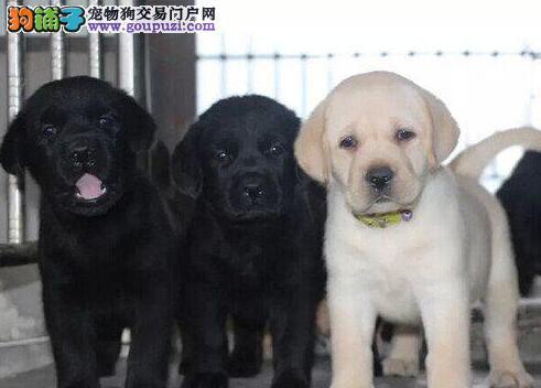 出售极品拉布拉多幼犬完美品相欢迎您的光临