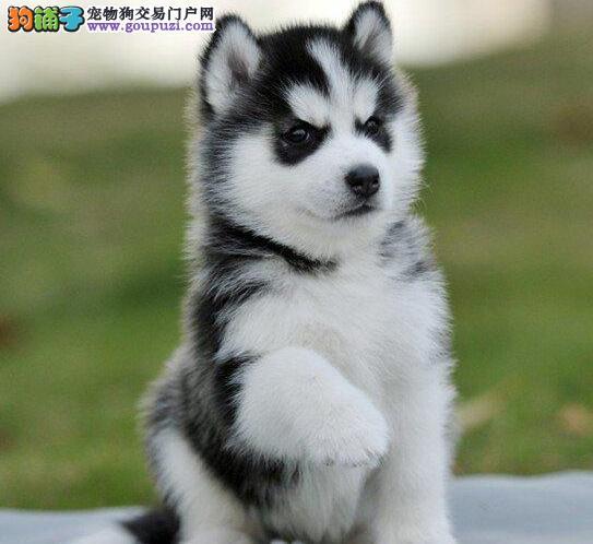 出售纯种哈士奇宝宝信誉诚信保证!喜欢狗狗的快来挑选