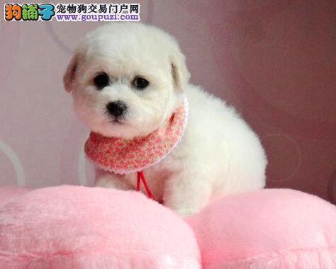 广东自家狗场繁殖直销比熊幼犬质量三包多窝可选