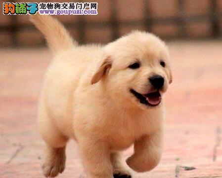 转让大头宽嘴金毛犬 杭州周边城市购买可送赠品
