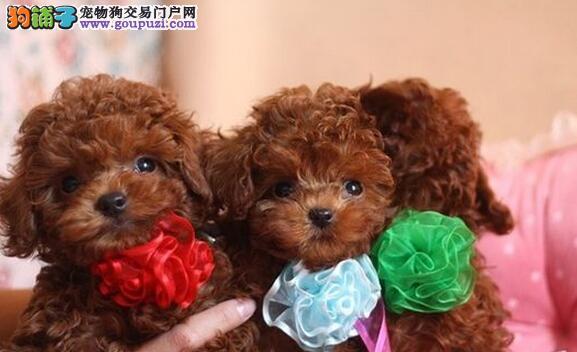 韩国极品泰迪犬带国际血统出售