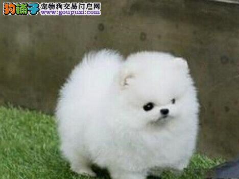 极品博美犬幼犬,精心繁育品质优良,签协议可送货