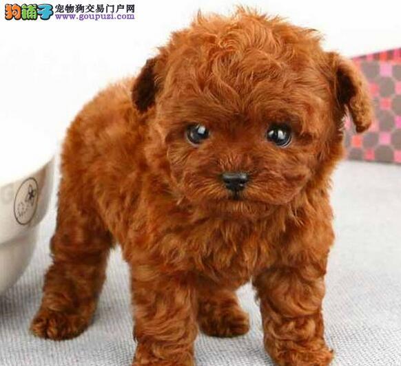 优惠价格出售纯种韩系贵宾犬 欢迎来成都犬舍直接购买