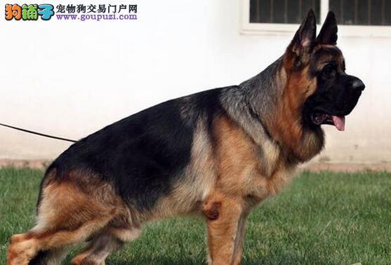 出售纯种德国牧羊犬、实物拍摄直接视频、签订活体协议