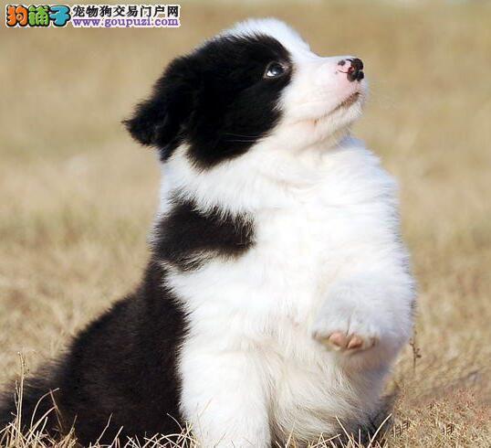出售西双版纳边境牧羊犬专业缔造完美品质血统证书芯片齐全