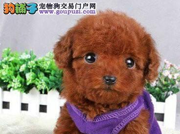 赛级品相泰迪犬幼犬低价出售期待来电咨询