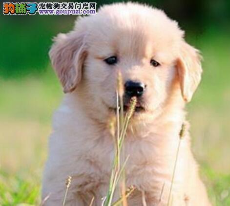 高品质金毛种狗对外配种另有小狗出售