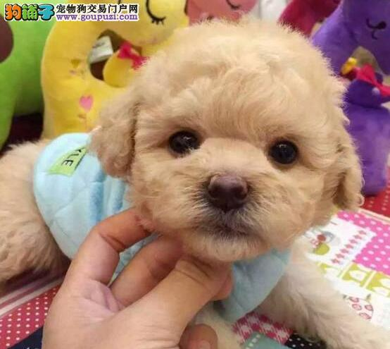 CKU犬舍认证广东出售纯种贵宾犬优惠出售中狗贩子勿扰