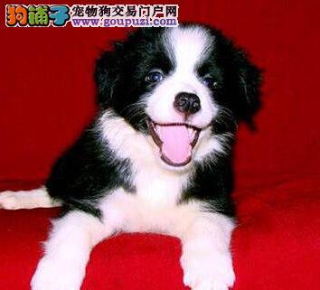 天津出售边境牧羊犬幼犬品质好有保障诚信信誉为本