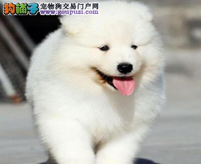 纯种CKU血统萨摩耶幼犬可刷卡质保三月本周半价!