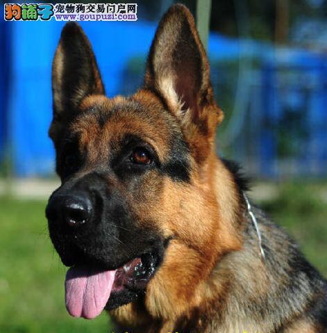 热销德国牧羊犬幼犬 品质第一价位最低 等您接它回家