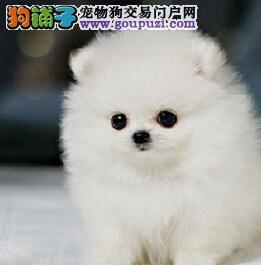 精品赛级博美犬 纯度第一品质第一 签协议可送货