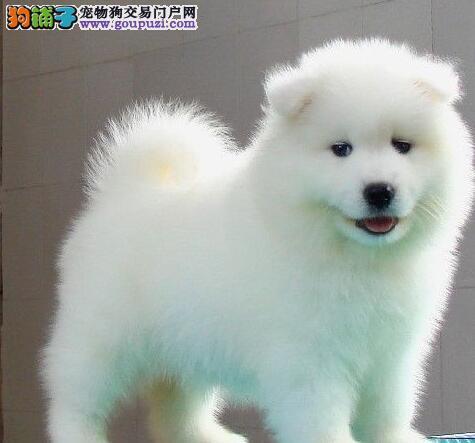 成都纯种微笑天使萨摩耶幼犬,雪白无水锈,骨骼粗毛量足