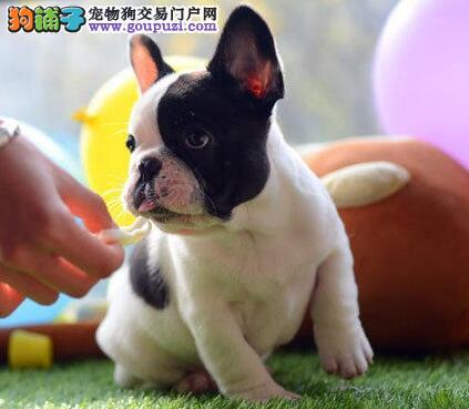 100%纯种健康的锦州法国斗牛犬出售三针疫苗齐全