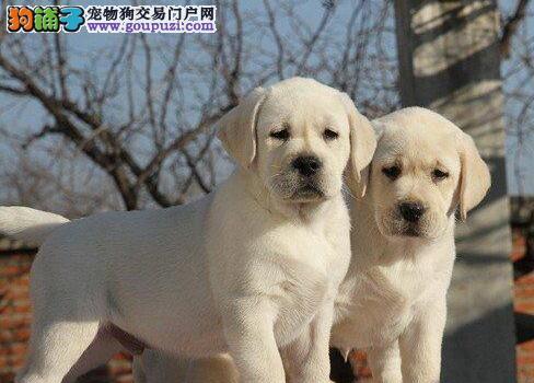 衢州繁殖拉布拉多神犬小七生活从拥有一条拉布拉多开始