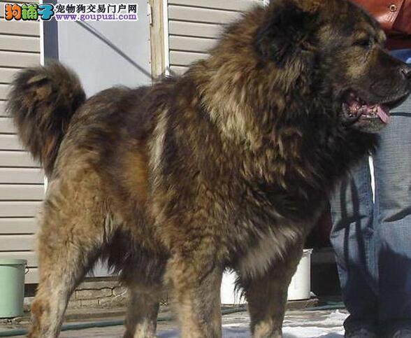 转让原生态血系熊版品相的西宁高加索犬 终身售后服务
