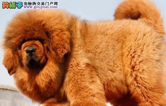 西宁知名獒园繁殖健康纯血统的藏獒幼崽 狗贩子勿扰