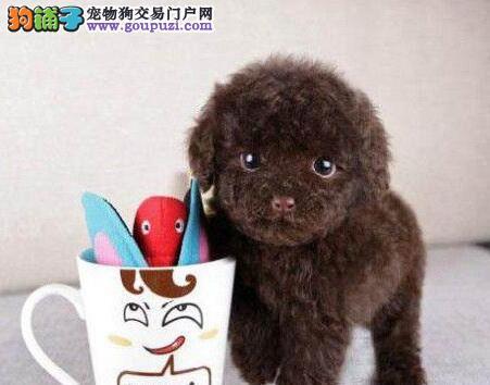 品质极佳血统纯正的西宁泰迪幼犬找新家 赛级双血统