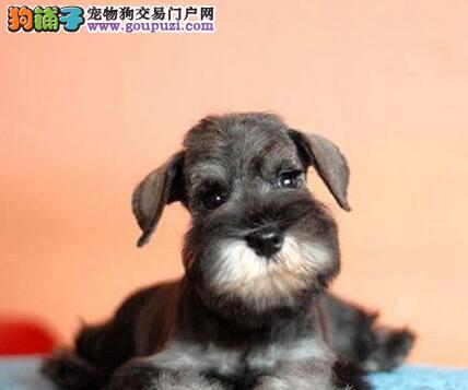 权威机构认证犬舍 专业培育雪纳瑞幼犬微信咨询欢迎选购