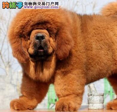 出售藏獒幼犬品质好有保障签订三包合同