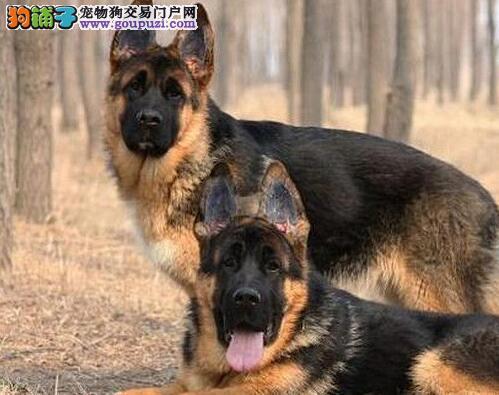 西宁繁殖基地直销德国牧羊犬 黑脸大背线品质超级棒