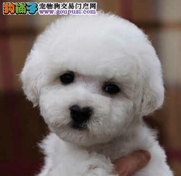 纽扣眼小卷毛的上海比熊犬不掉毛超可爱